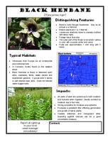 Black henbane : hyoscyamus niger