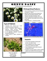 Oxeye daisy : chrysanthemum luecanthemum
