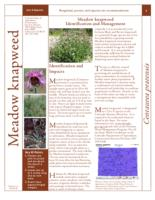 Meadow knapweed identification and management
