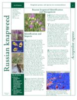 Russian knapweed identification and management