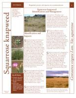 Squarrose knapweed identification and management