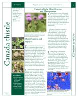 Canada thistle identification and management