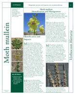 Moth mullein identification and management