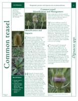 Common teasel identification and management
