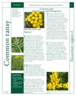 Common tansy identification and management