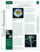 Corn chamomile identification and management