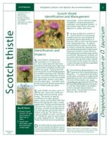 Scotch thistle identification and management